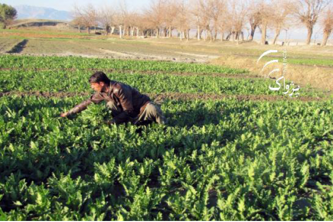 Poppy Cultivated  on Taliban-Grabbed  Govt Land
